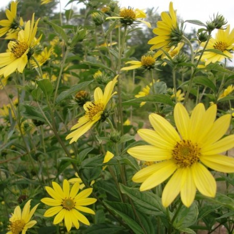 Helianthus 'Lemmon Queen'