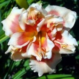 Hemerocallis 'Forty Second Street'