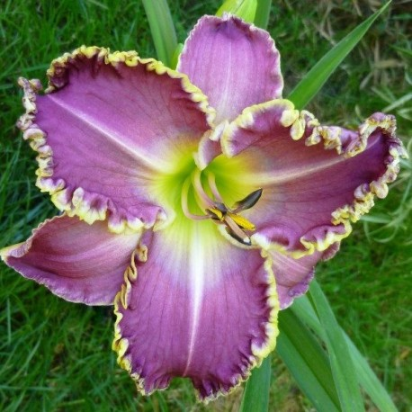 Hemerocallis 'Frank's Star of Bethlehem'