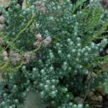 Helichrysum creticum