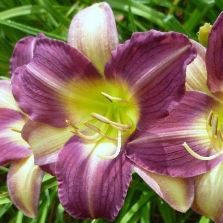 Hemerocallis 'Friendly Persuasion'