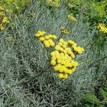 Helichrysum italicum subsp serotinum
