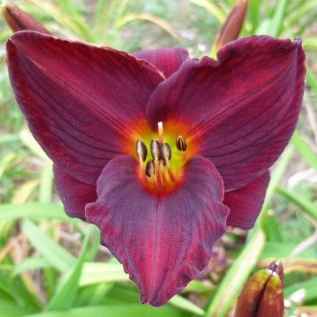 Hemerocallis 'Gipsy Turtle'