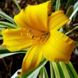 Hemerocallis 'Golden Zebra'