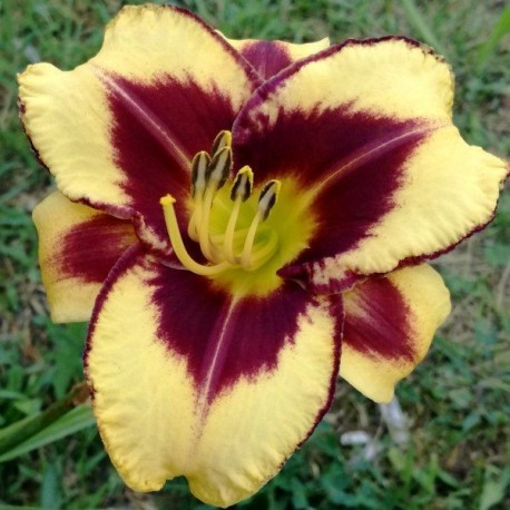 Hemerocallis 'Goldenzelle'