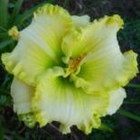 Hemerocallis 'Green Mystique'
