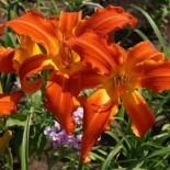 Hemerocallis 'Heavenly Orange Blaze'