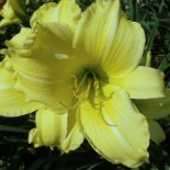 Hemerocallis 'High Mogul'