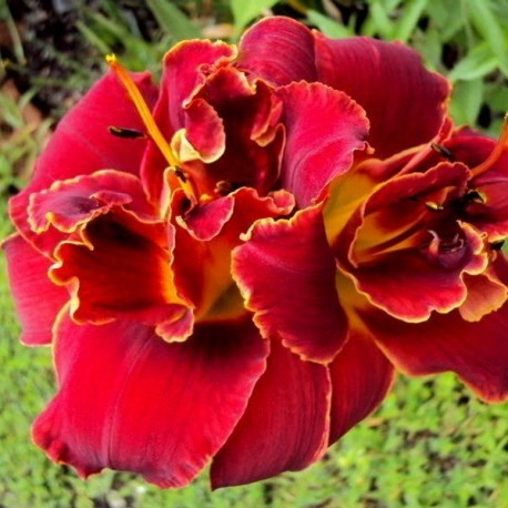 Hemerocallis 'Highland Lord'