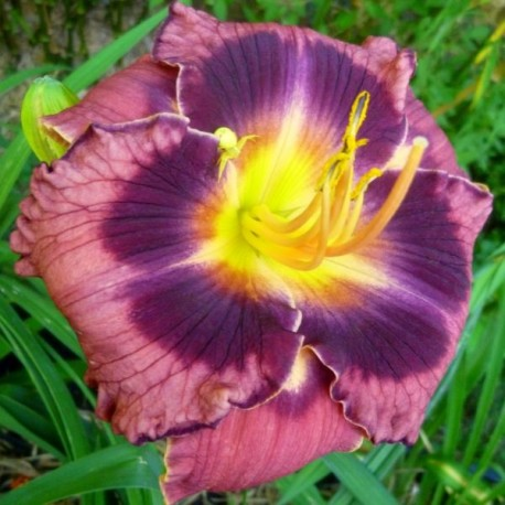Hemerocallis 'Incendiary'