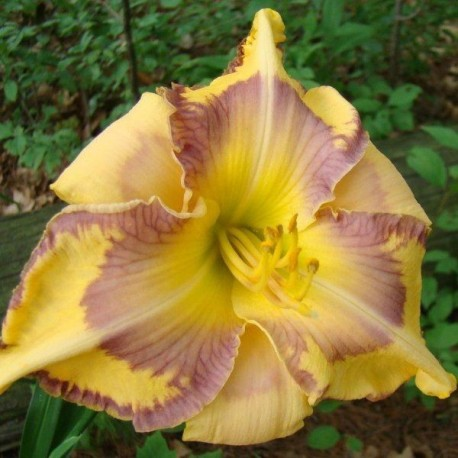 Hemerocallis 'Kaleidoscope Canyon'