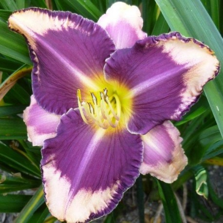 Hemerocallis 'Kansas City Kicker'