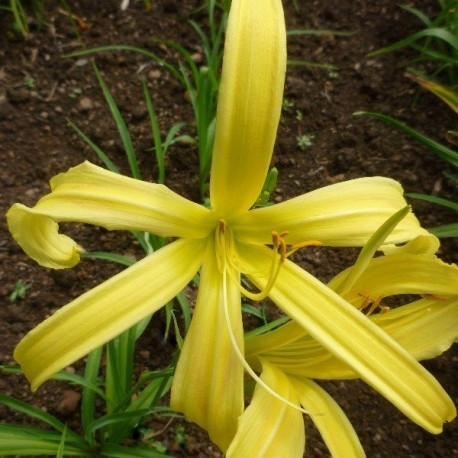 Hemerocallis 'Kindly Light'