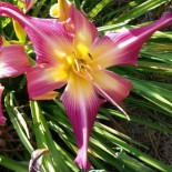 Hemerocallis 'Lake Norman Spider'