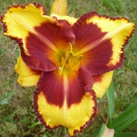 Hemerocallis 'Ledgewood's Flame of Faith'