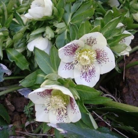 Helleborus orientalis 'Spotted Light'