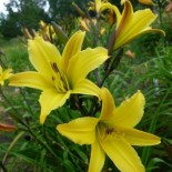 Hemerocallis 'Lemon Flutter'