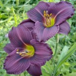 Hemerocallis 'Little Grapette'