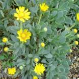 Hertia cheirifolia