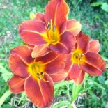 Hemerocallis 'Little Papoose'