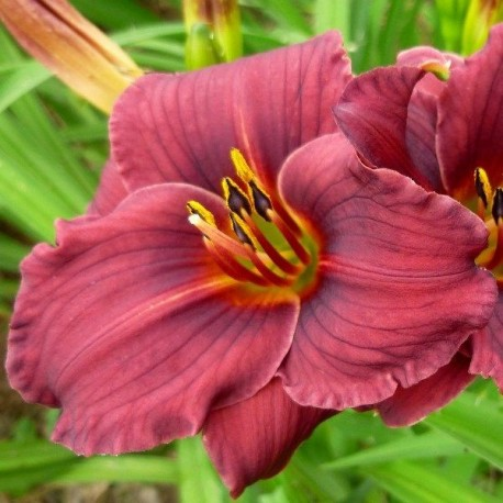 Hemerocallis 'Little Sweet Sue'