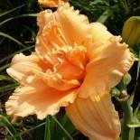 Hemerocallis 'Madge Cayse'