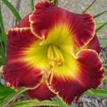 Hemerocallis 'Madly Red'