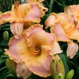 Hemerocallis 'Mandarine Seas'