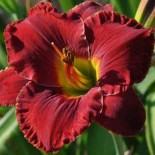 Hemerocallis 'Maria Callas'