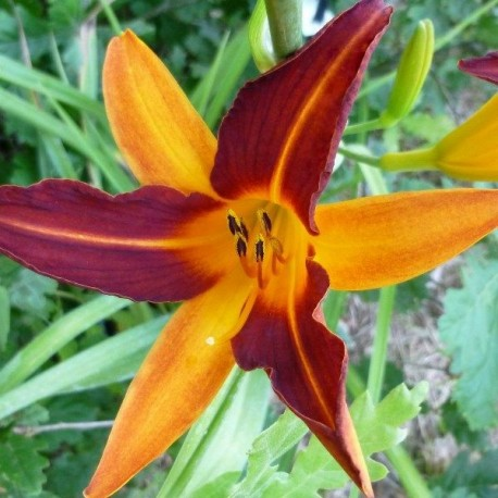 Hemerocallis 'Mary Guenther'
