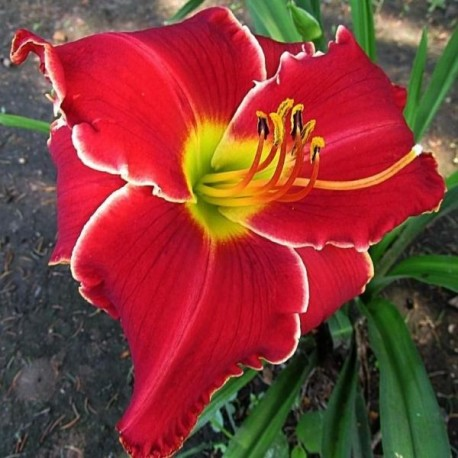 Hemerocallis 'Mississippi Red Dragon'
