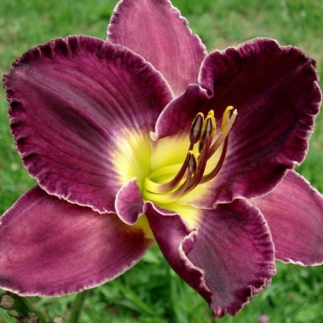 Hemerocallis 'Mountain Majesty'