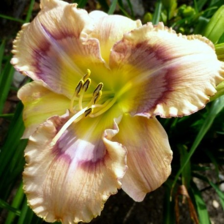 Hemerocallis 'Mysterious Eyes'