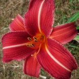 Hemerocallis 'Neyron Rose'