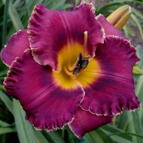 Hemerocallis 'Night Whispers'