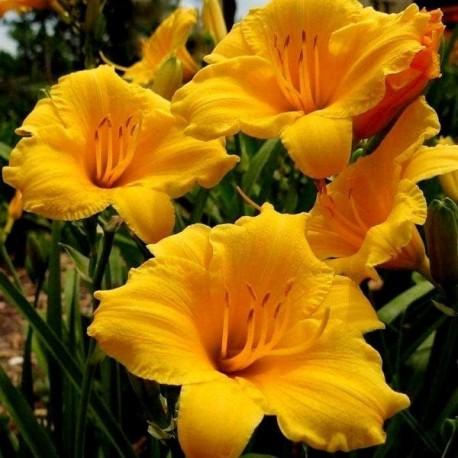 Hemerocallis 'Orange Drop'