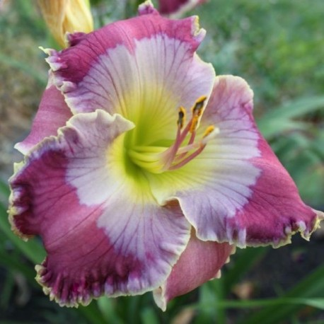 Hemerocallis 'Persian Art'
