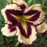 Hemerocallis 'Picotee Prism'