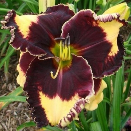 Hemerocallis 'Prince of Persia'