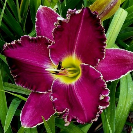 Hemerocallis 'Purple Umbrella'