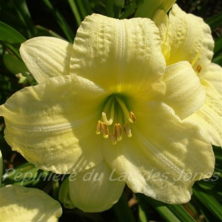 Hemerocallis 'Rain Song'