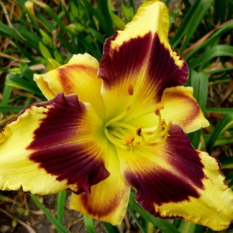 Hemerocallis 'Rapid Eye Movement'