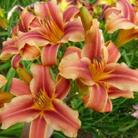Hemerocallis 'Ribbonette'