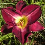 Hemerocallis 'Robert Lee Batt'