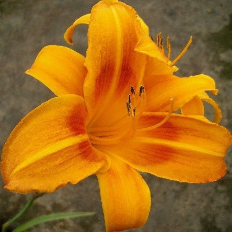 Hemerocallis 'Rocket City'