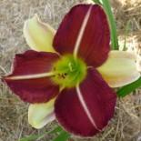 Hemerocallis 'Russel Bicolor'