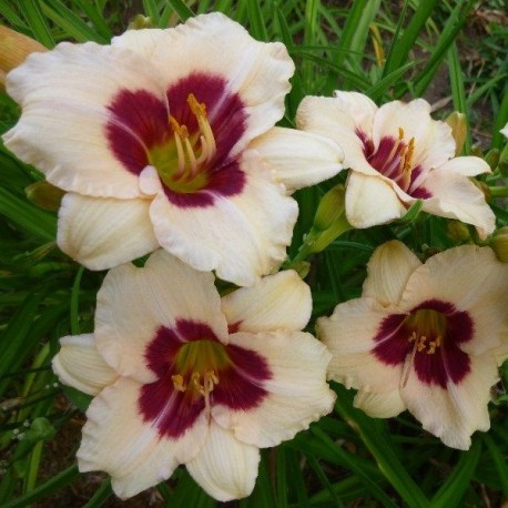 Hemerocallis 'Siloam Shocker'