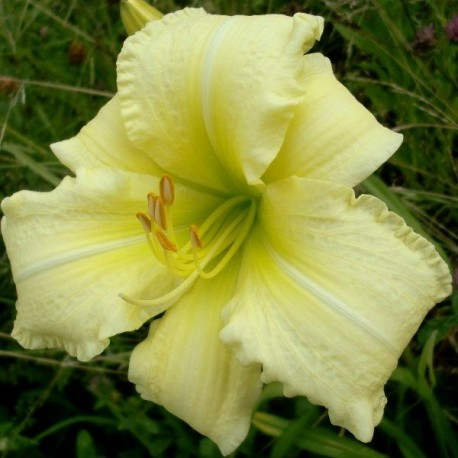 Hemerocallis 'So Lovely'