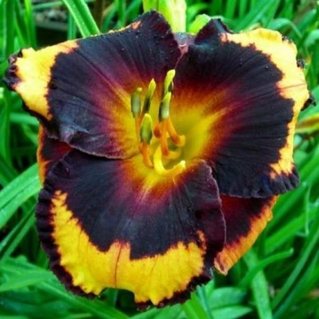 Hemerocallis 'Spacecoast Brazen Bandit'