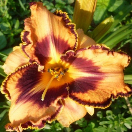 Hemerocallis 'Spacecoast Gone Bulldoggin'